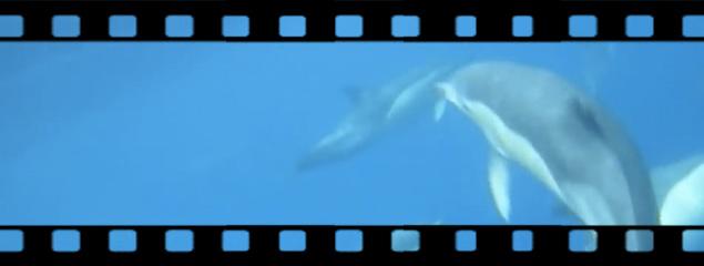 Gemeine Delphine unter Wasser