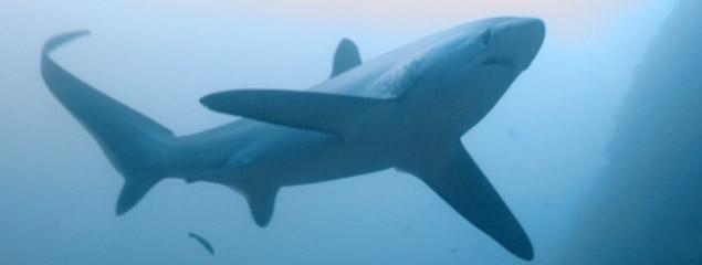 Tauchen mit Fuchshaien